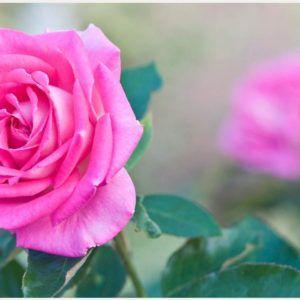 Flower Leaves Of Pink Rose Wallpaper | flower leaves of pink rose wallpaper 1080p, flower leaves of pink rose wallpaper desktop, flower leaves of pink rose wallpaper hd, flower leaves of pink rose wallpaper iphone