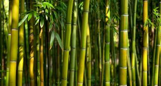 Cosecha del bambú
