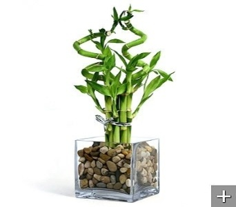 Makes a great corporate gift - lucky bamboo is easy to care for and sends them well wishes. $74.95