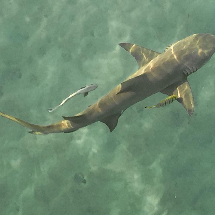 Shark, Green Island, Cairns, Queensland