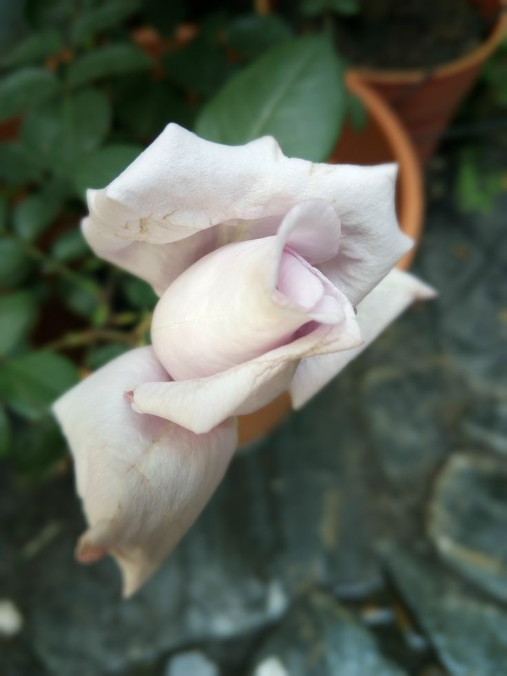 Rosa Té