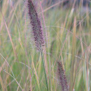 Rozplenica japońska / Pennisetum alopecuroides