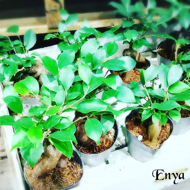 【enyaflowers】さんのInstagramをピンしています。 《おはようございます園舎です♪ ・ 今日は温室内から『ガジュマルさん』です。 ・ これはコンパクトサイズでお値段もお手頃ですのでご自宅やちょっとしたプレゼントに♪ ・ ガジュマルさんは「幸せを呼ぶ樹」とも呼ばれてますので一家にオヒトツいかがでしょうか? ・ 後、ガジュマルさんは日光が大好きで寒いのが苦手なので気を付けてあげて下さいね☺ ・ #園舎 #観葉植物 #園芸 #多肉植物 #エアープランツ #水耕栽培 #苔玉 #季節の花 #切り花 #苗  #鉢植え#寄せ植え#ドライフラワー #ボタニカル #テラリウム #プリザーブドフラワー #アーティシャルフラワー #雑貨 #花と緑のある暮らし  #花屋 #フラワーショップ  #お出掛け #プレゼント #お見舞い #冠婚葬祭 #神戸市 #コープリビング甲南店 #冬 #ガジュマル》