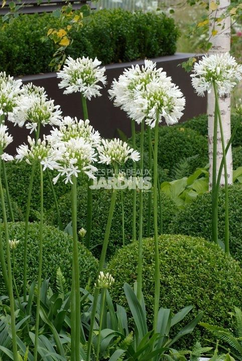 Structured Urban Garden containing White Agapanthus and ferns that rise up from the boxwood ball topiaries in planter boxes; giving a feeling of serenity in this small space.