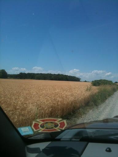 Golden wheat fields in Prince Edward County