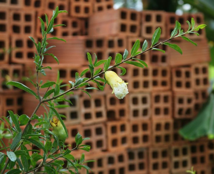 Our pomegranate flowers in garden.