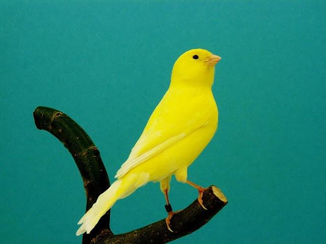 Geel schimmel (kanarie).  Mijn kweekman is een gele kanarie.  De popjes zijn geel en bont gekleurd zodat er ook verschillende kleuren in de nesten voorkomen.
