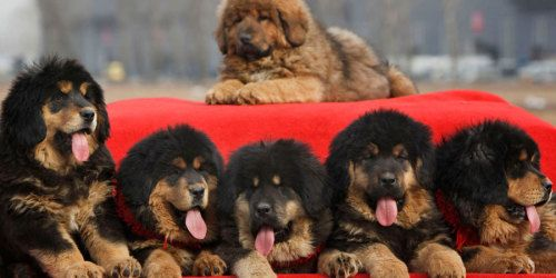Tibetan Mastiff - The Lion Dog #TibetanMastiff  #LionDog #puppy #dog #mastiff #puppyexpressions #alwaysdogs   http://puppyexpressions.tumblr.com/post/169835658078/tibetan-mastiff-the-lion-dog