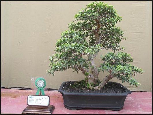 bonsai jambu kerikil juara