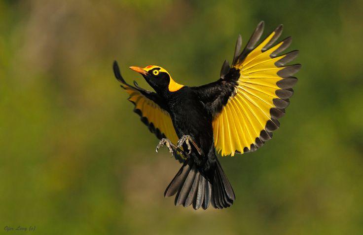 Regent Bowerbird male at Lamington National Park QLD, by Ofer Levy, via 500px