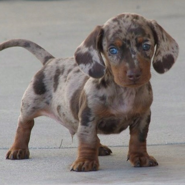 Chocolate and tan dapple dachshund