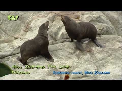 Kekeno - New Zealand Fur Seal. Unlike true seals they have visible ears and do not have a blubber layer so they have fur for warmth.  Looking for broadcast footage? Don't shoot! Contact  http://www.stockshot.nl/english/startuk.htm ©