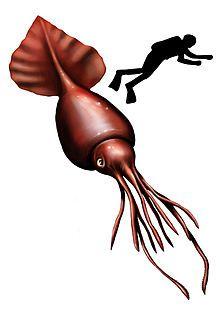 Colossal squid - Wikipedia