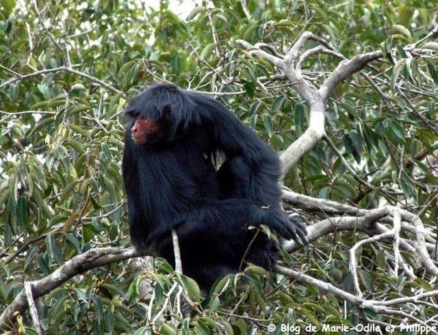 L'Atèle noir ou singe araignée noir (Ateles paniscus)