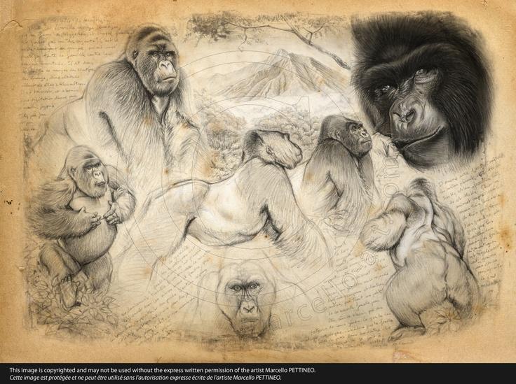 193 Gorille de montagne © marcello