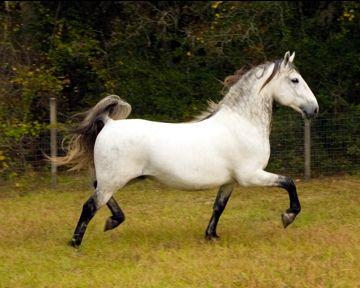 Royal Lipizzan Stallions | Equus:The Horse | Horses ...