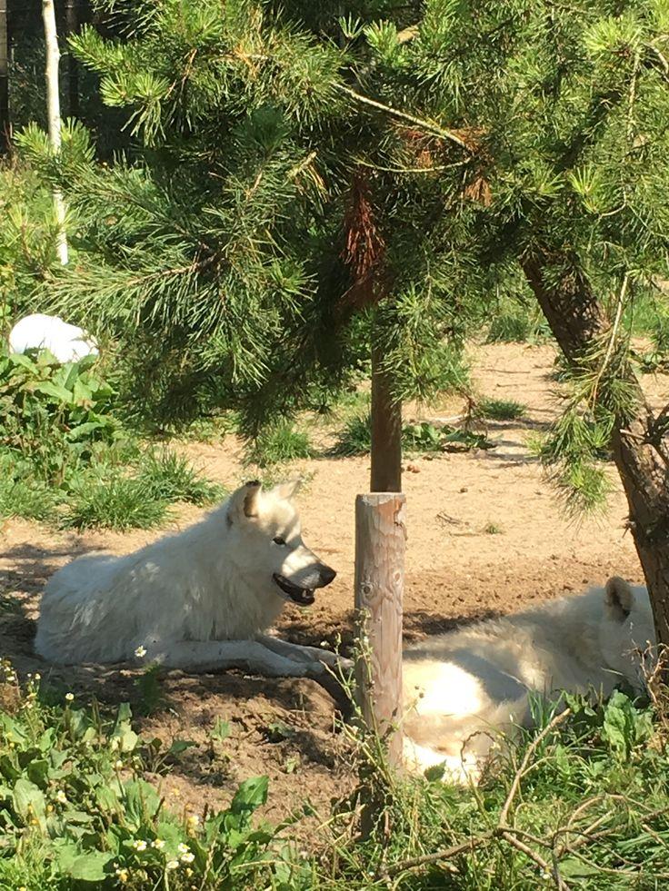 Hoenderdaell - witte wolven