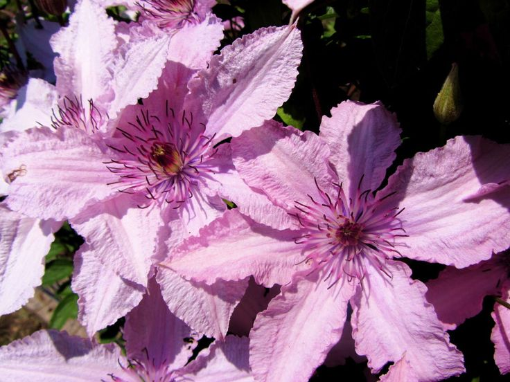 Clematis Hagley Hybrid. Foto: Wiki Creative Commons