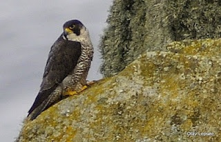 Peregrine falcon/ Vandrefalk. Runde, Norway by Olav Lepsøe.