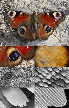 Butterfly wing at different levels of magnification – a butterly eye has 5 cones / a human eye only 3
