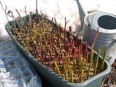 Most dugj le szaporításra szánt vesszőket. A fás dugványozás bárki által könnyen megtanulható vegetatív szaporítási mód. Dugványkészítés, dugvány gondozás.