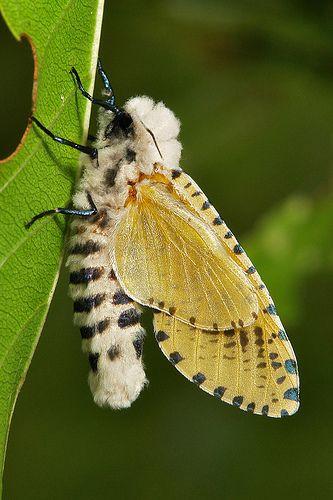 Leopard Moth (Zeuzera sp., Cossidae) <3