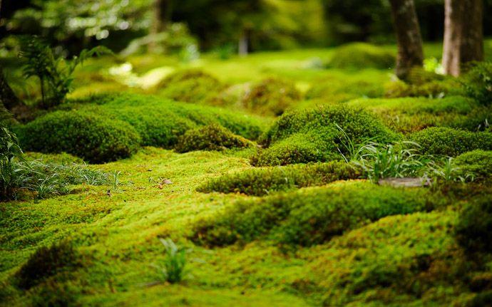desktop background image of a garden/moss scene at the Gioji Temple (祇王寺), Kyoto Japan  --  Its a Jungle Out There moss garden at the Gioji Temple (祇王寺) Kyoto, Japan  --  Gioji Temple (祇王寺)  --  Copyright 2012 Jeffrey Friedl, http://regex.info/blog/