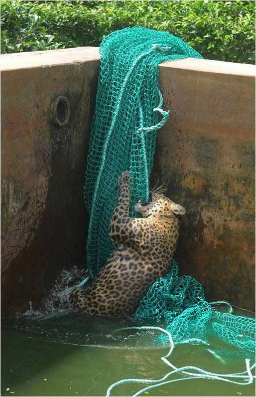El rescate de un leopardo que cayó en pozo de agua  Luego que un leopardo adulto cayera accidentalmente en un pozo de agua (en  una plantación de té en Hashkove, cerca de Siliguri en India), un equipo de rescate salvó al animal arrojándole una red que el gran felino utilizó para recuperar su libertad. Las imágenes son sorprendentes. Las fotografías que aquí se reproducen son propiedad del fotógrafo Diptendu Dutta.