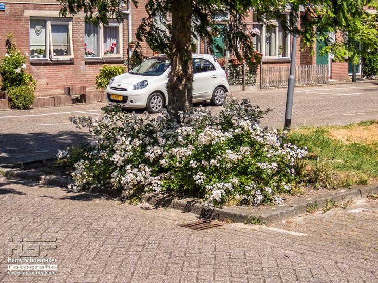 Bloei op de #Goedenraadweg (2017) Ooit lagen hier rond de boom meerdere limonadeblikjes. Dit is een veel mooier gezicht; vindt u ook niet?
