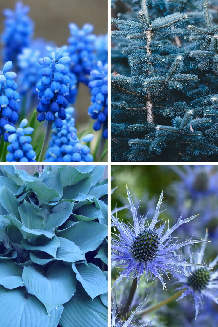 Grow True Blue Garden Plants With Blue Flowers Foliage And Fruit