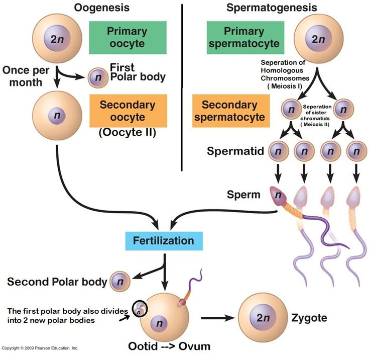 And oogenesis diagram spermatogenesis and oogenesis diagram ccuart Image collections