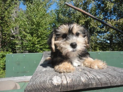 yorkie ton 1000 images about puppies on pinterest puppys jets and 4363