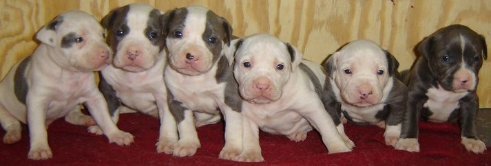 UKC pit bull Kennels puppies for American Pit Bull Terrier puppies for sale from dog breeders in your area. Description from photoalbum2.indexbuzz.net. I searched for this on bing.com/images