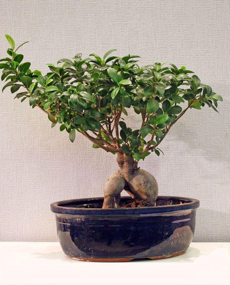 Bonsai σε κεραμικό ποτ