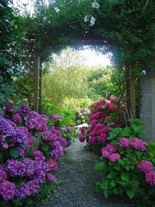 entrance and the hydrangeas