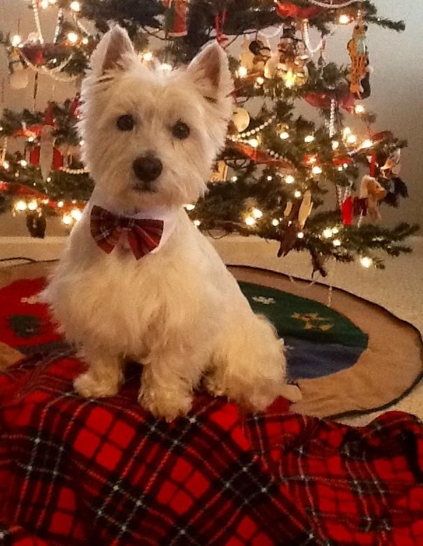 A west highland terrier  poses by the Christmas tree
