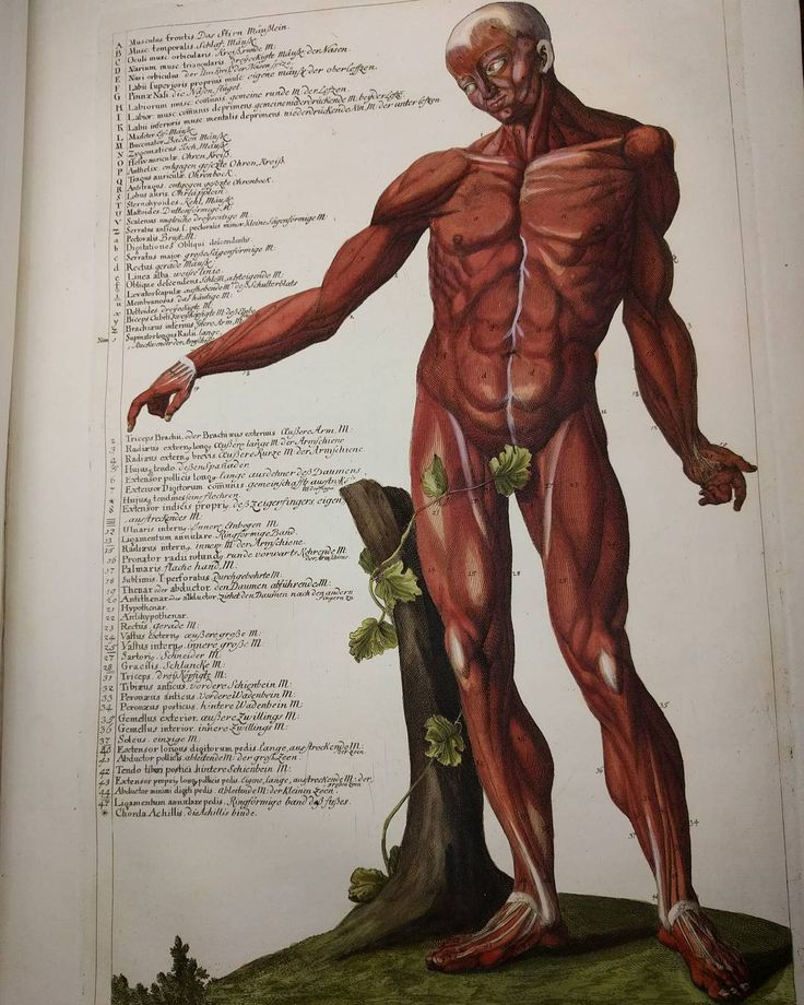 Christian Gottlieb Hofmann, a German physician, published Succincta descriptioossiumet musculorum corporis humani in 1783. Our hand colored copy provides a succinct description of the human bones and muscles with lovely visuals, including this coyly covered muscle man.#rarebooks #librariesofinstagram #histmed #anatomy #anatomicalatlas #medhist #libraries
