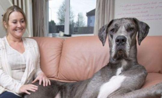 DIT is Freddy; de grootste hond ter wereld! Deze hond MOET je echt zien, niet te geloven!