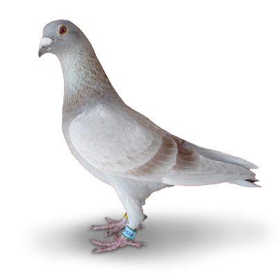 Columbófilia: Tipo de pombo correio