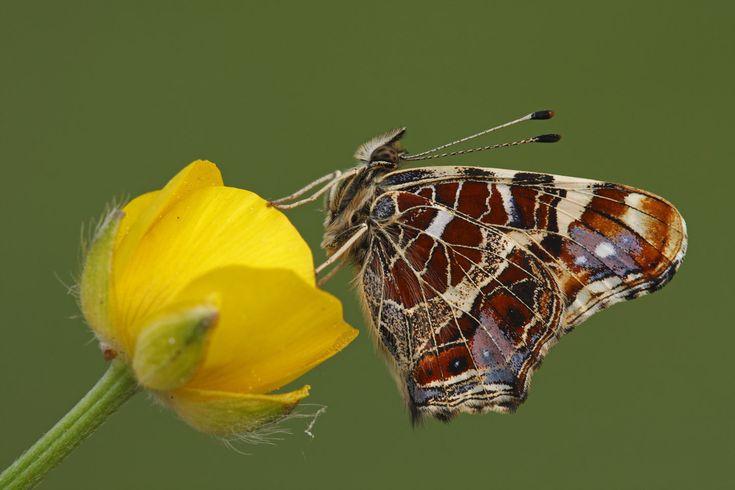 Araschnia levana f. levana - Map Butterfly - Landkaartje - Landkärtchen