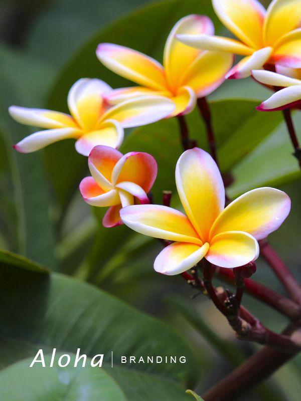 Plumeria – 今日も花のある生活を