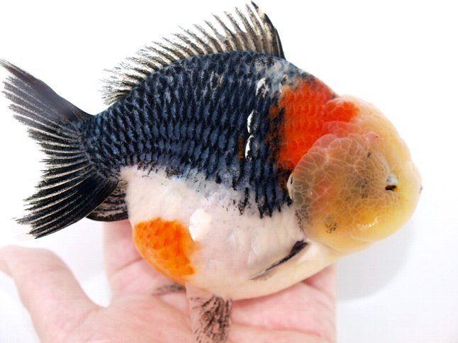 Oranda Gold Fish 24