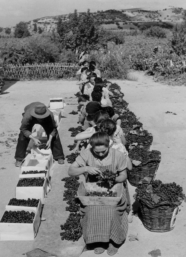 Grape harvest - selecting the best grapes (Portugal) - photo by Artur Pastor