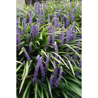 Meer dan 1000 idee n over paarse planten op pinterest florida tuinieren tuinieren en chelsea - Outdoor tuinieren ...