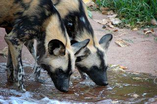 Cão-selvagem-africano, mabeco ou cão-caçador-africano (Lycaon pictus) é um canídeo típico de África que vive em zonas de savana e vegetação esparsa. A espécie já foi comum em toda a África sub-sahariana (exceto em áreas de floresta tropical ou densa e zonas desérticas). A sua distribuição geográfica atual limita-se à Namíbia, Botswana, Moçambique, algumas zonas do Zimbabué e África do Sul.