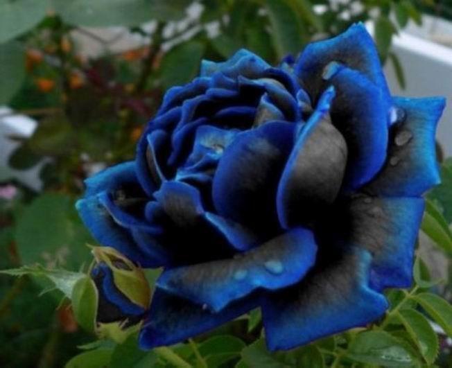 HEIRLOOM MIDNIGHT Rose 10 seeds *UNIQUE*EXOTIC*RARE* Au Seller in Home & Garden, Yard, Garden & Outdoor Living, Plants, Seeds & Bulbs | eBay