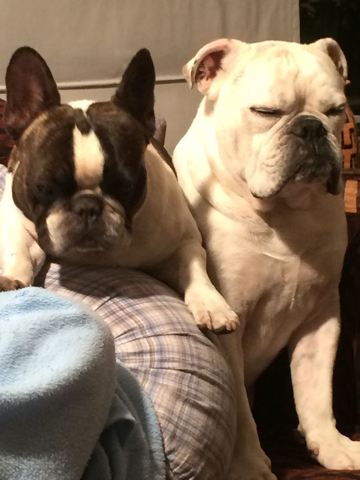 Bulldogs falling asleep sitting.