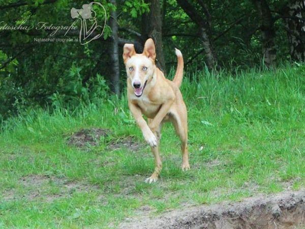 #Amerikaanse Dingo. Ingezonden op: 3 september 2013: Lakota American Indian Dog Lakota American Indian Dog 8 maanden jong op de foto