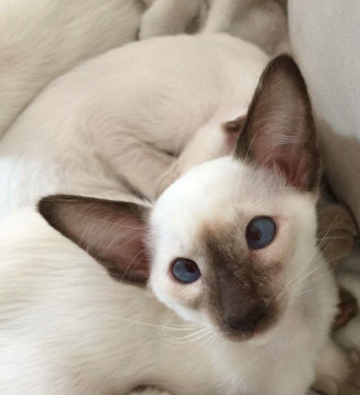 My Cats Balinese ❤️  La petite Olive, Chat Balinais ❤️