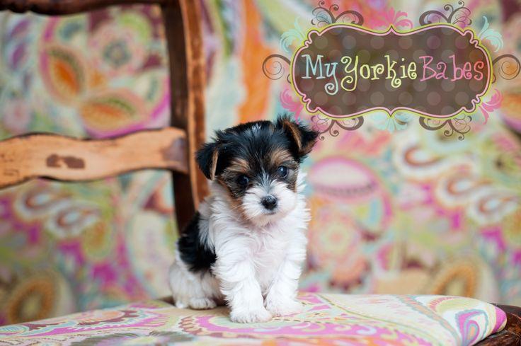 Best Dog Food To Feed My Yorkie